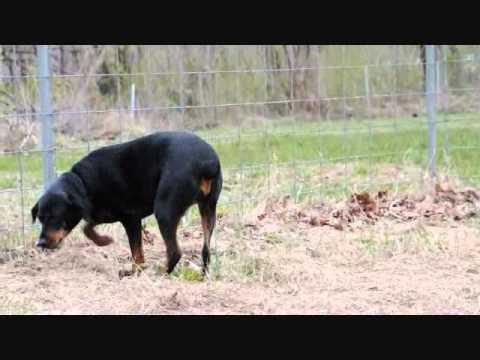 Meet Lucy a Doberman Pinscher currently available for adoption at Petango.com! 4/1/2011 8:24:35 AM