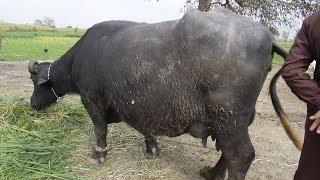 NiliRavi Buffalo Far Sale In Malumore Moweshi Mandi Jhang || نیلی