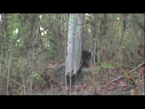 Wild tiger bear fight - rare footage Tiger vs Bear!