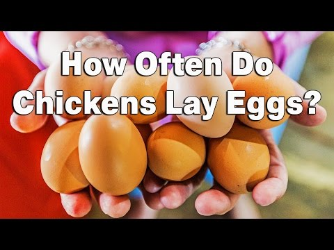 How Often Do Chickens Lay Eggs?