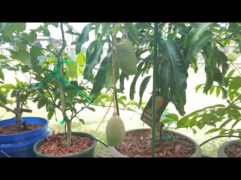 Fruiting Cogshall Mango Tree in Container