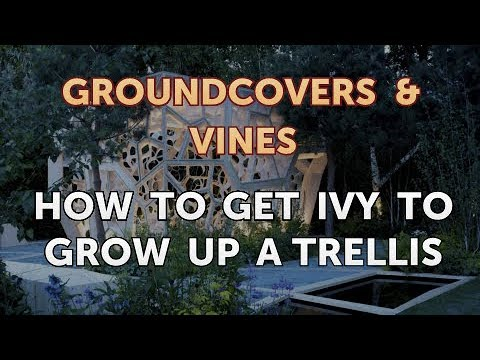 How to Get Ivy to Grow Up a Trellis