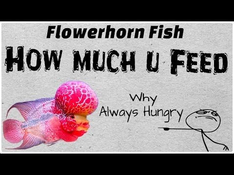 Flowerhorn Fish Feeding Guide