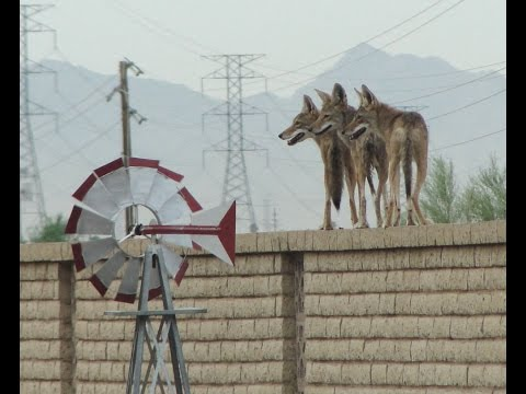 Compilation of Coyotes jumping fences