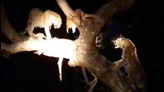 Leopard vs Leopard vs Hyenas Over Food