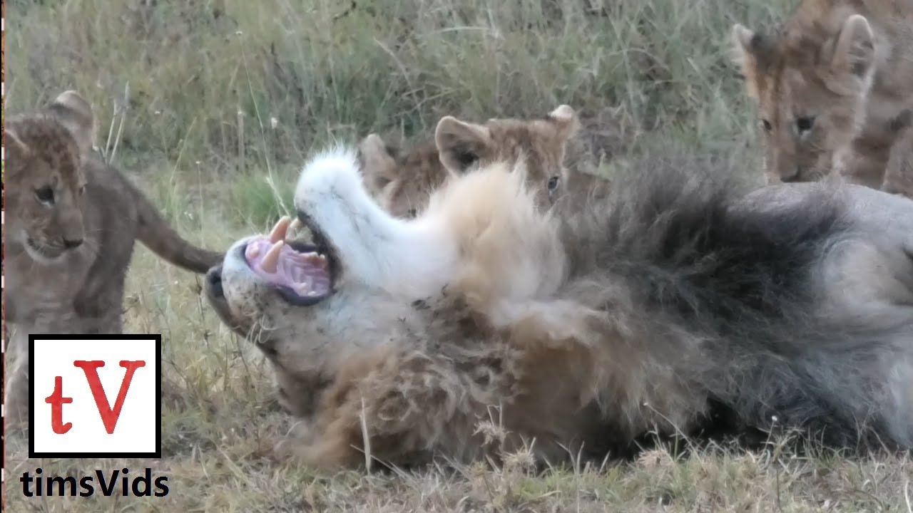 Small Lion Cubs Annoy Their Sleeping Fathers