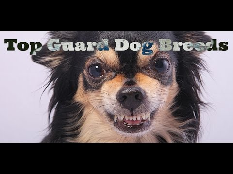 The Top 25 Guard Dog Breeds For Your Family