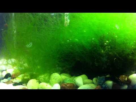 Class Tank:  Algae, plankton life, small shrimps, snails LIFE!