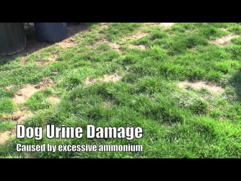 How to - Plant lawn seed to repair dog lawn spots