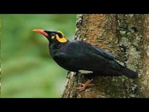 Beautiful bird voice || seriously dedicated to bird lovers