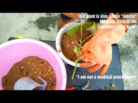 How to grow Giloy/Tinospora /Amrita/Guduchi herb plant at home(Beginning till end) |