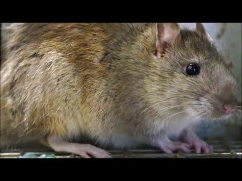 Rat Trap with a LIVE Norway RAT, my Best Bait, Rat Facts SOUNDS