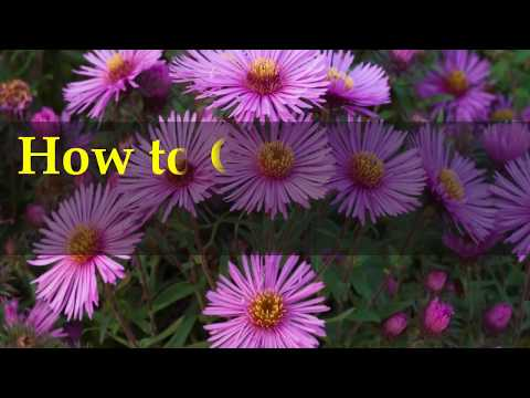 How to Grow Asters Flower at Home