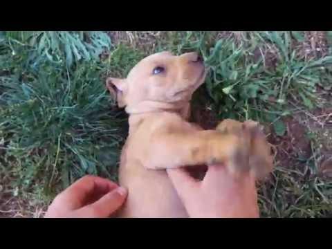 Choosing a Plott Puppy 'First Encounter'