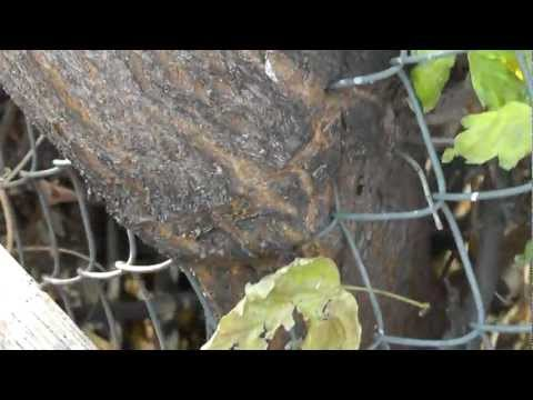 Tree Grows THROUGH Chain Link Fence INTACT