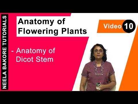 Anatomy of Flowering Plants - Anatomy of Dicot Stem