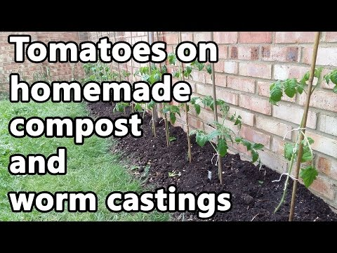 Tomatoes on homemade compost and worm castings