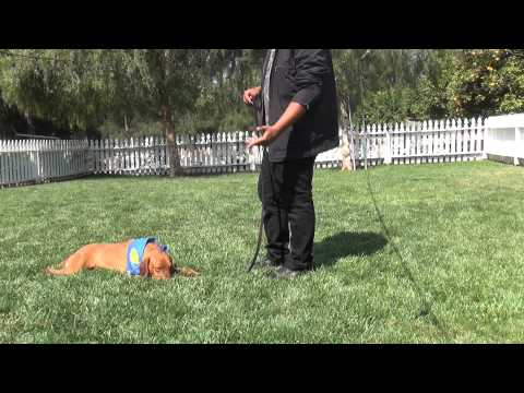 Golden Meadows Kennel | Pablo |How to do corrections