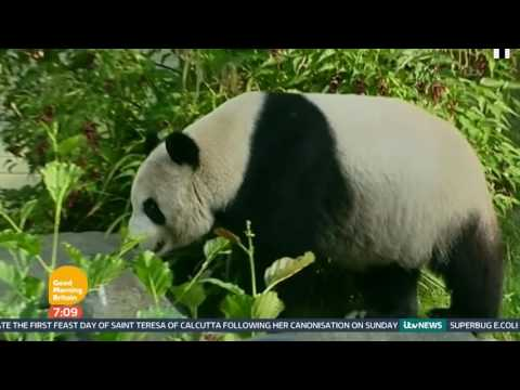 Pandas No Longer On The Endangered Species List | Good Morning Britain