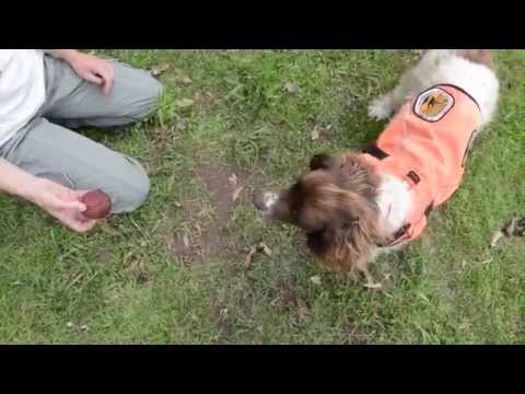 Hawkweed Detector Dogs