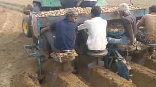 Potato Seed Sowing / farming by using tractor 5