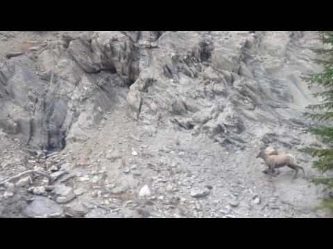 Wild goats in the mountains in bc canada