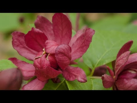 HARTLAGE WINE CALYCANTHUS FLOWERING SHRUB