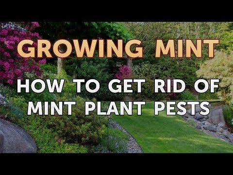 How to Get Rid of Mint Plant Pests