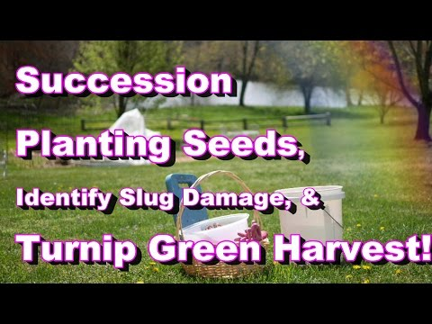 April: Sowing Seeds, Succession Planting, How to Identify Slug Damage, Turnip Green Harvest,