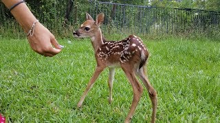 Most Funny and Cute Baby Deer Videos Compilation (2018)