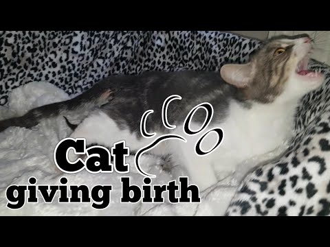 Xxx Mp4 CAT GIVING BIRTH THE 3 STAGES OF CAT BIRTH ASMR STYLE 3gp Sex