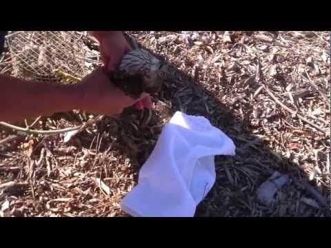 Elite Falconry Coopers Hawk Trapping Bal-Chatri Trap