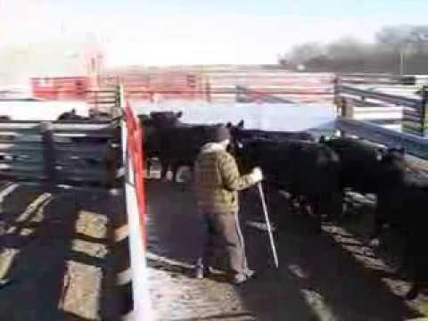 Loading fat cattle using a bud box.