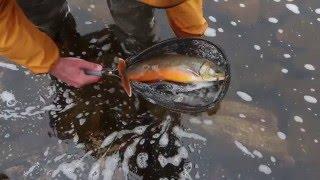 Flugfiske I Fjällvärlden – Harr öring Röding