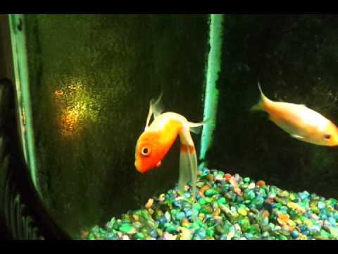 Goldfish dying