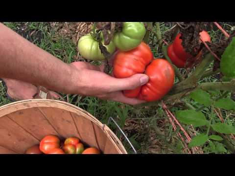 Last Heirloom Tomato Harvest For the Year | MIgardener