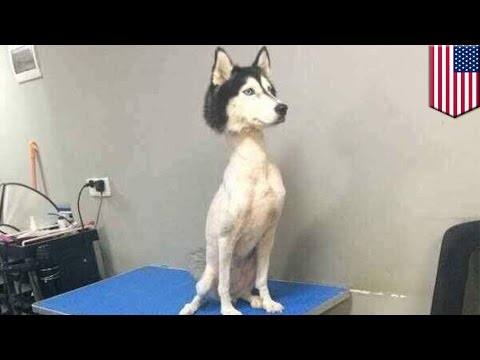 Shaved husky: mysterious viral photo of shaved husky sends Twitter into a frenzy - TomoNews