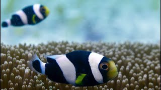 Incredible Teamwork From Little Clownfish | Blue Planet II