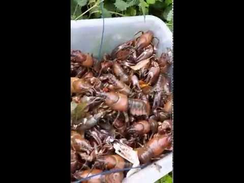 crayfish/yabbies sheffield south yorkshire uk part 2