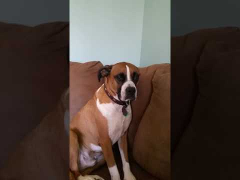 Boxer head tremors, stopped with a treat