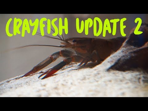 Crayfish Tank Update 2