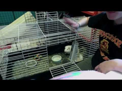 Spot Cleaning a Guinea Pig Cage