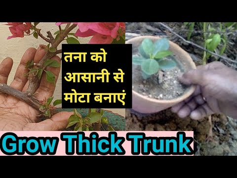 Easy way to grow thick trunk of a plant in (Hindi and Urdu)