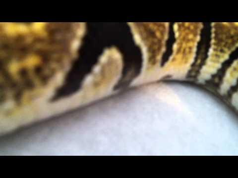 The Jumanji Ball Python - Original Male