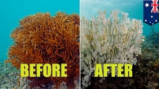 Great Barrier Reef: Coral bleaching is killing Australia's spectacular coral reef - TomoNews