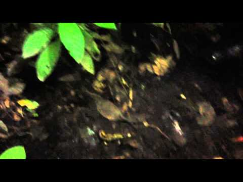 Amazon Jungle Night Trek, Rio Napo, Ecuador, July 2013