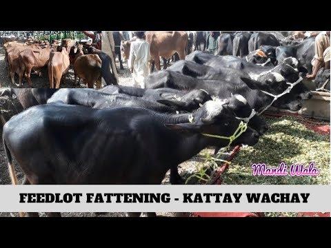 272 | FEEDLOT FATTENING - KATTAY WACHAY - SAHIWAL COW MANDI
