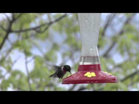 Feeding Hummingbirds - Make Your Own Hummingbird Food