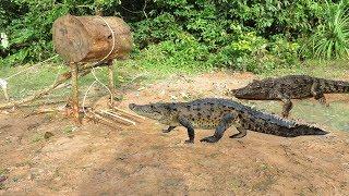 Creative Boy Makes Crocodile Trap Using Big wood - Amazing crocodile Trap Work 100%