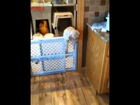 Crazy puppy jumps over gate!!!!